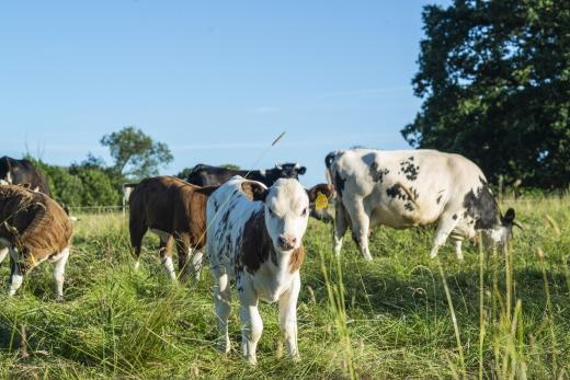 Regenerative Farm Cow