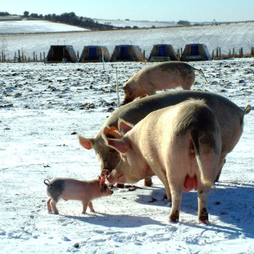 Pigs in the snow